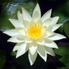 Lotus Star