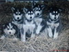Malamute puppies.