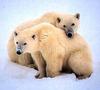 A Polar Bear Hug