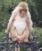 a piss from a pissed monkey!