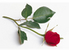 A Perfect Rose