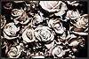 ragged roses