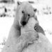 A Wonderful Polar Bear Hug